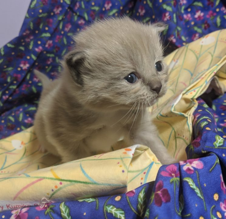 Bruce a ragamuffin kitten